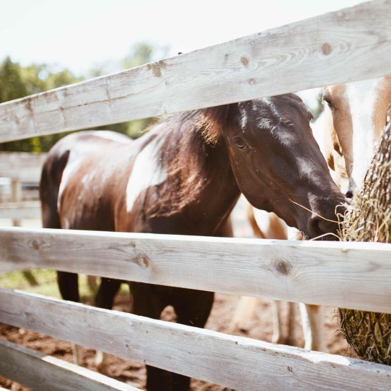 fudge the horse eating hay