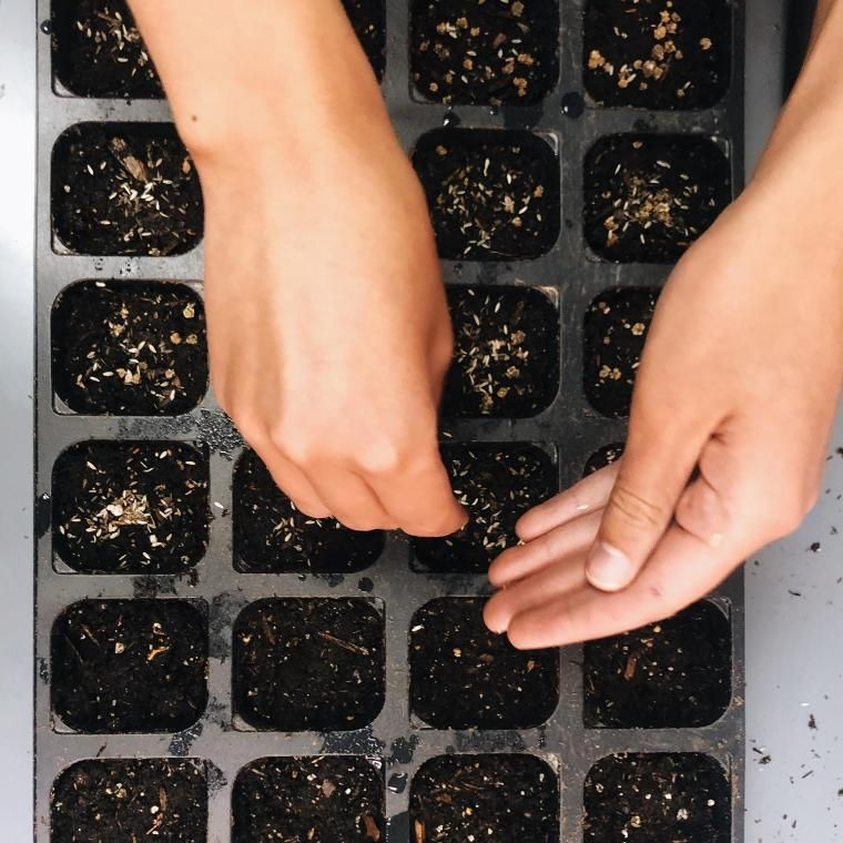 Hands Planting Seeds in Seedcups